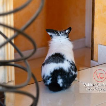Lapin nain noir et blanc en liberté dans la maison - Réf : VQA1-37-0107 (Q3)