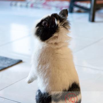 Lapin nain noir et blanc relevé sur ses pattes arrières - Réf : VQA1-37-0109 (Q3)