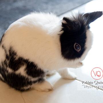 Lapin nain noir et blanc se léchant la patte - Réf : VQA1-37-0133 (Q3)