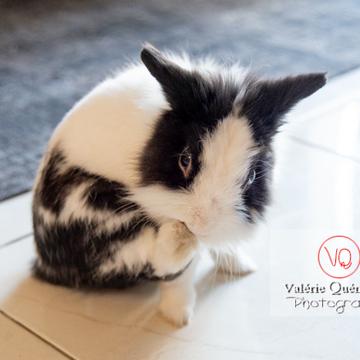 Lapin nain noir et blanc se grattant la patte - Réf : VQA1-37-0134 (Q3)