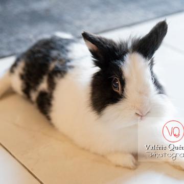 Lapin nain noir et blanc allongé - Réf : VQA1-37-0138 (Q3)