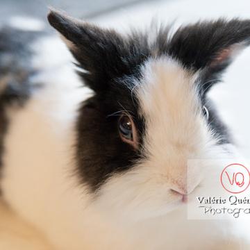 Portrait d'un lapin nain noir et blanc - Réf : VQA1-37-0142 (Q3)