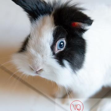 Portrait d'un lapin nain noir et blanc - Réf : VQA1-37-0147 (Q3)