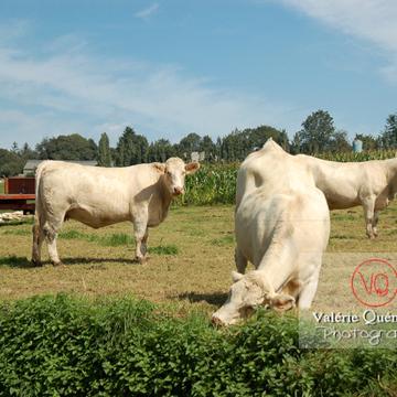 Vaches de race charolaise - Réf : VQA1-45-0010 (Q2)