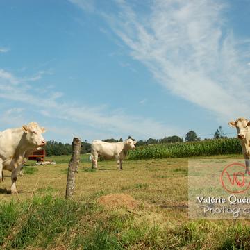 Vaches de race charolaise - Réf : VQA1-45-0011 (Q2)