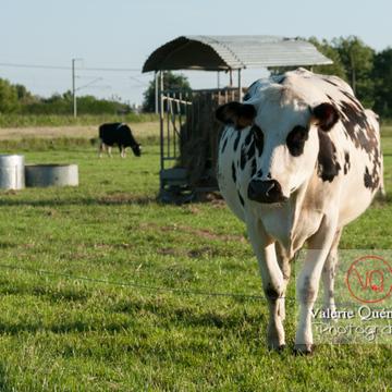 Vaches laitières de race Prim'Holstein - Réf : VQA1-45-0012 (Q2)