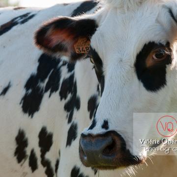 Portrait de vache laitière de race Prim' Holstein / Bretagne - Réf : VQA1-45-0013 (Q2)
