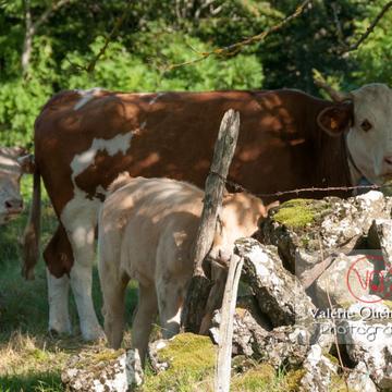 Veaux et vache de race ferrandaise à robe barrée / Puy-de-Dôme / Auvergne - Réf : VQA1-45-0023 (Q2)