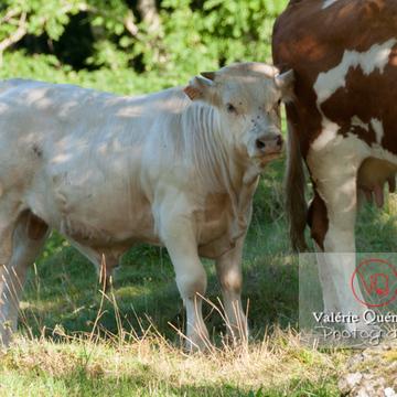 Veau de race ferrandaise / Puy-de-Dôme / Auvergne - Réf : VQA1-45-0024 (Q2)