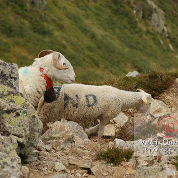 Moutons de race barégeoise dans les Pyrénées - Réf : VQA1-47-0011 (Q1)