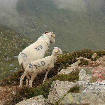Moutons de race barégeoise dans les Pyrénées - Réf : VQA1-47-0012 (Q1)