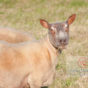 Portrait de mouton tondu - Réf : VQA1-47-0013 (Q2)