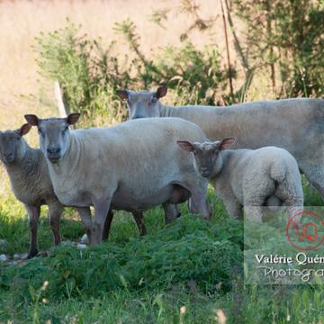 Moutons tondus & agneau - Réf : VQA1-47-0014 (Q2)