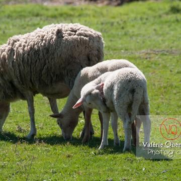Mouton et agneaux blancs - Réf : VQA1-47-0021 (Q2)