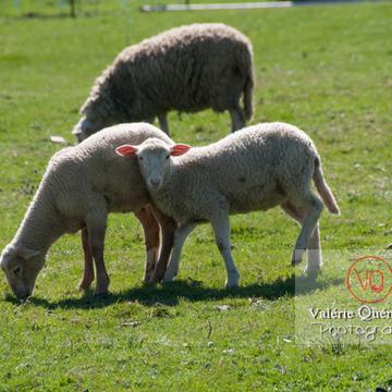Agneaux blancs - Réf : VQA1-47-0023 (Q2)