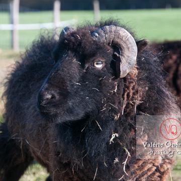 Portrait mouton d'Ouessant en hiver - Réf : VQA1-47-0025 (Q2)