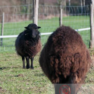 Moutons d'Ouessant en hiver - Réf : VQA1-47-0026 (Q2)