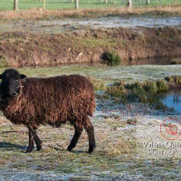 Mouton d'Ouessant en hiver - Réf : VQA1-47-0028 (Q2)
