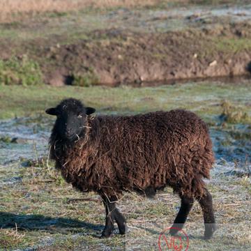Mouton d'Ouessant en hiver - Réf : VQA1-47-0029 (Q2)