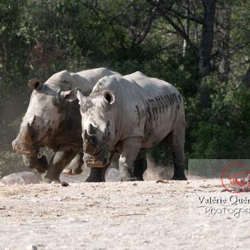 Affrontement de rhinocéros / Zoo de Montpellier / Occitanie - Réf : VQA1-54-0010 (Q2)