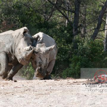 Affrontement de rhinocéros / Zoo de Montpellier / Occitanie - Réf : VQA1-54-0011 (Q2)