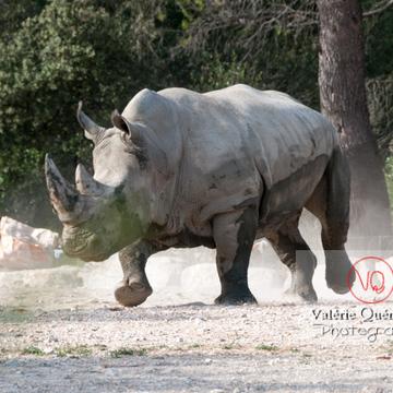 Affrontement de rhinocéros / Zoo de Montpellier / Occitanie - Réf : VQA1-54-0014 (Q2)