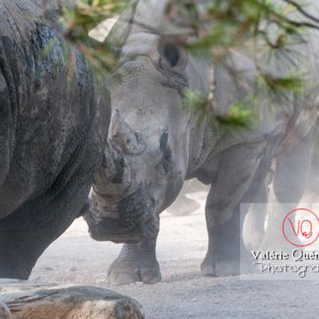 Affrontement de rhinocéros / Zoo de Montpellier / Occitanie - Réf : VQA1-54-0015 (Q2)