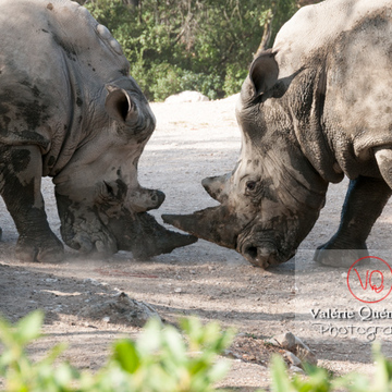 Affrontement de rhinocéros / Zoo de Montpellier / Occitanie - Réf : VQA1-54-0018 (Q2)
