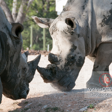Affrontement de rhinocéros / Zoo de Montpellier / Occitanie - Réf : VQA1-54-0019 (Q2)