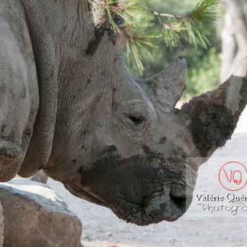 Affrontement de rhinocéros / Zoo de Montpellier / Occitanie - Réf : VQA1-54-0021 (Q2)
