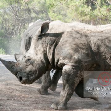 Affrontement de rhinocéros / Zoo de Montpellier / Occitanie - Réf : VQA1-54-0023 (Q2)