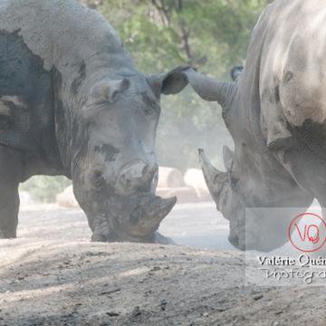 Affrontement de rhinocéros / Zoo de Montpellier / Occitanie - Réf : VQA1-54-0024 (Q2)
