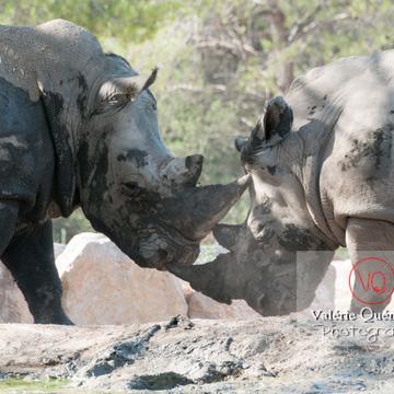 Affrontement de rhinocéros / Zoo de Montpellier / Occitanie - Réf : VQA1-54-0026 (Q2)