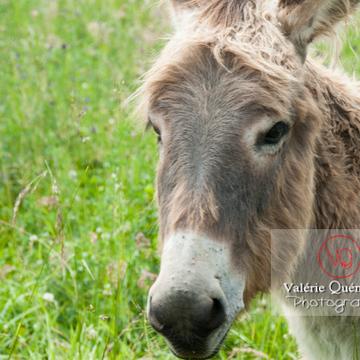 Portrait d'un âne du Cotentin dans une prairie de hautes herbes- Réf : VQA1-55-0012 (Q2)