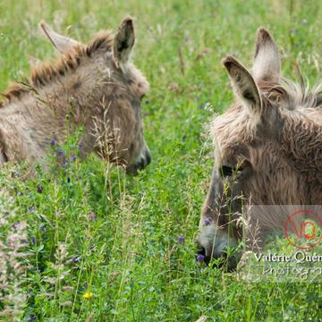 Ânes du Cotentin dans une prairie de hautes herbes - Réf : VQA1-55-0013 (Q1)