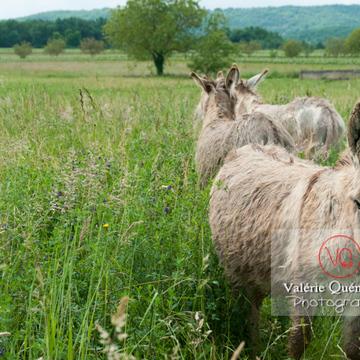 Ânes du Cotentin dans une prairie de hautes herbes - Réf : VQA1-55-0014 (Q1)