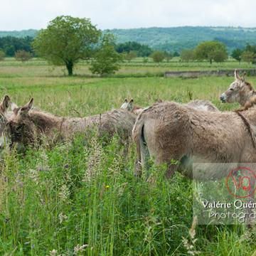 Ânes du Cotentin dans une prairie de hautes herbes - Réf : VQA1-55-0015 (Q2)