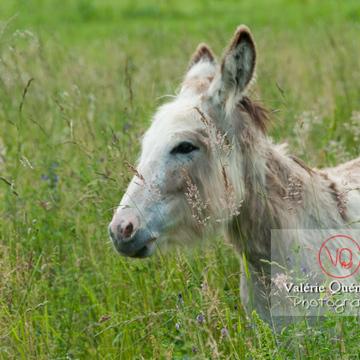 Âne du Cotentin dans une prairie de hautes herbes- Réf : VQA1-55-0017 (Q2)
