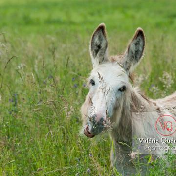 Âne du Cotentin dans une prairie de hautes herbes- Réf : VQA1-55-0018 (Q2)