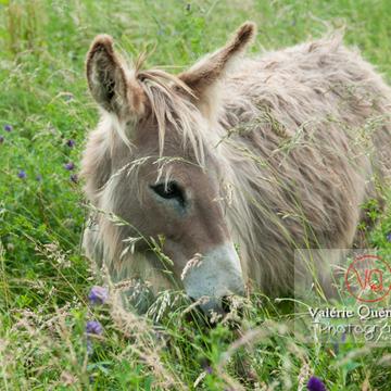 Âne du Cotentin dans une prairie de hautes herbes- Réf : VQA1-55-0020 (Q2)