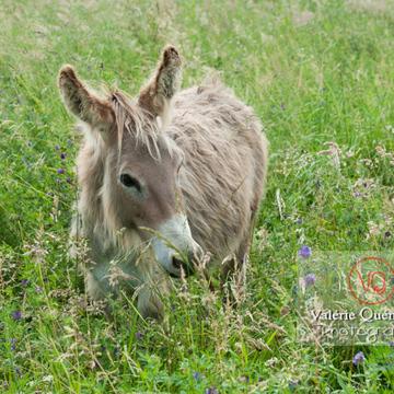 Âne du Cotentin dans une prairie de hautes herbes - Réf : VQA1-55-0021 (Q1)