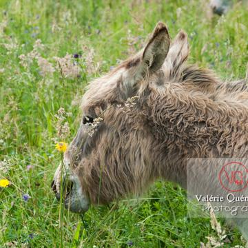 Âne du Cotentin dans une prairie de hautes herbes- Réf : VQA1-55-0022 (Q2)