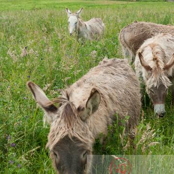 Ânes du Cotentin dans une prairie de hautes herbes- Réf : VQA1-55-0023 (Q2)