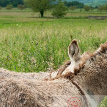 Ânes du Cotentin dans une prairie de hautes herbes- Réf : VQA1-55-0024 (Q2)