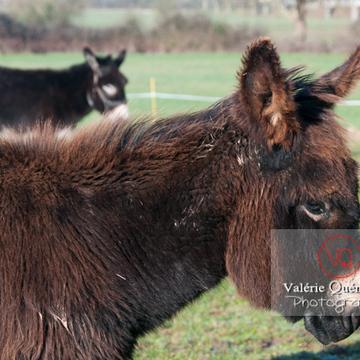 Ânesse noire et son ânon en hiver - Réf : VQA1-55-0055 (Q2)