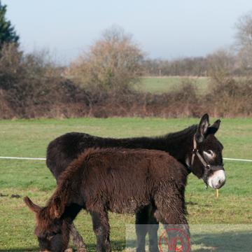 Ânesse noir et son ânon en hiver - Réf : VQA1-55-0060 (Q2)