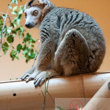 Maki couronné / Zoo de Montpellier / Occitanie - Réf : VQA1-60-0011 (Q2)