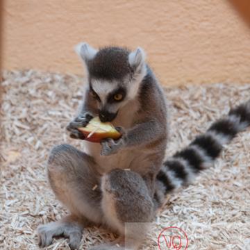 Maki catta / Zoo de Montpellier / Occitanie - Réf : VQA1-60-0012 (Q2)
