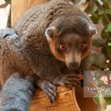 Maki mongoz / Zoo de Montpellier / Occitanie - Réf : VQA1-60-0013 (Q2)