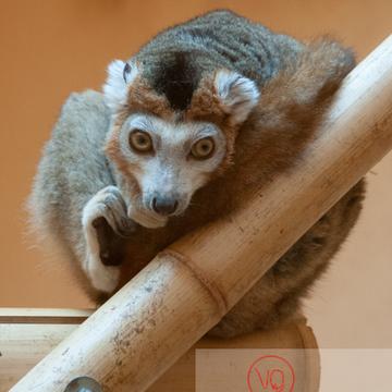 Maki couronné / Zoo de Montpellier / Occitanie - Réf : VQA1-60-0021 (Q2)